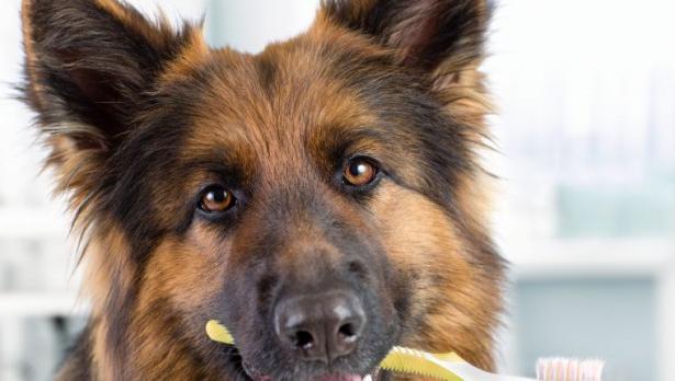 ¿Cómo cuidar la salud bucal de tu perro?