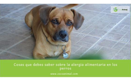 Cosas que debes saber sobre la alergia alimentaria en los perros