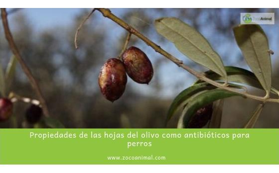 Propiedades de las hojas del olivo como antibióticos para perros