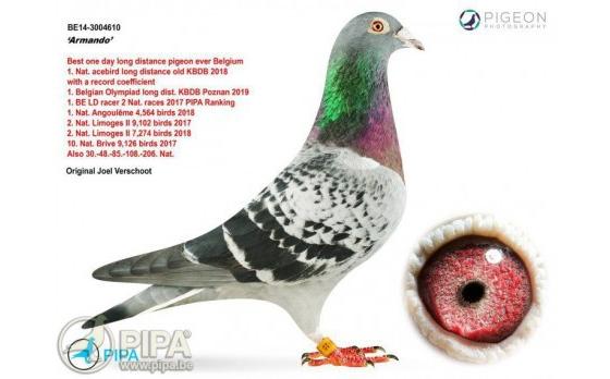 """Armando, """"el Lewis Hamilton de las palomas mensajeras"""": Una paloma de 1,4 millones"""